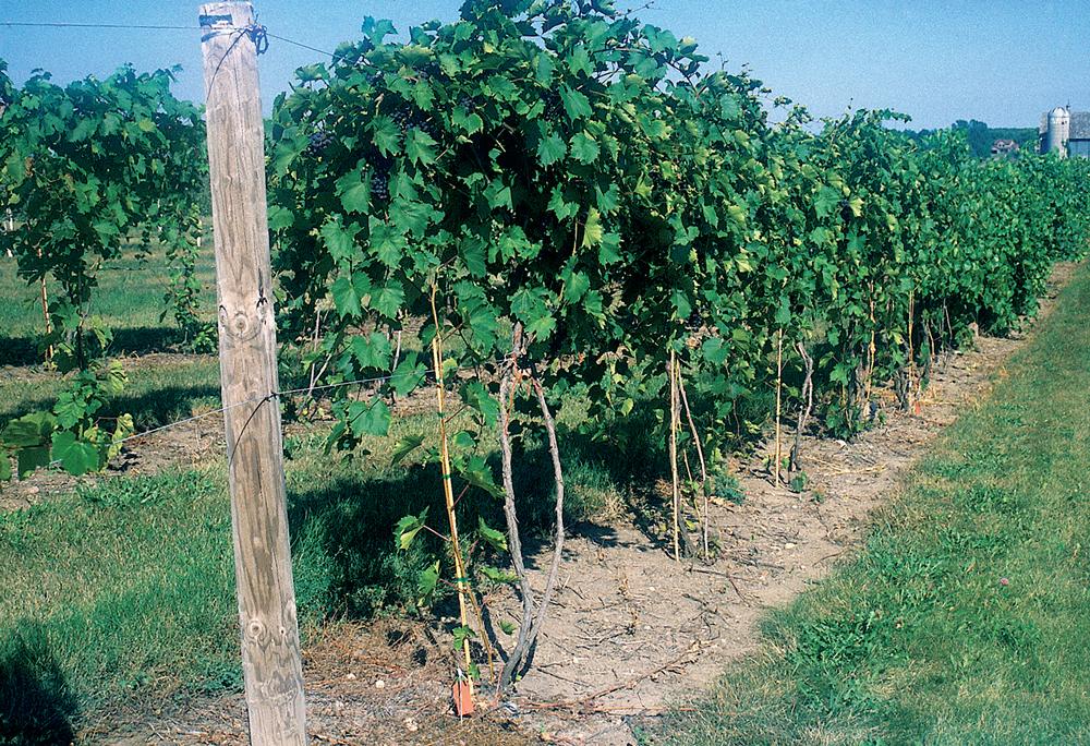 Viiniköynnöksen Leikkaaminen