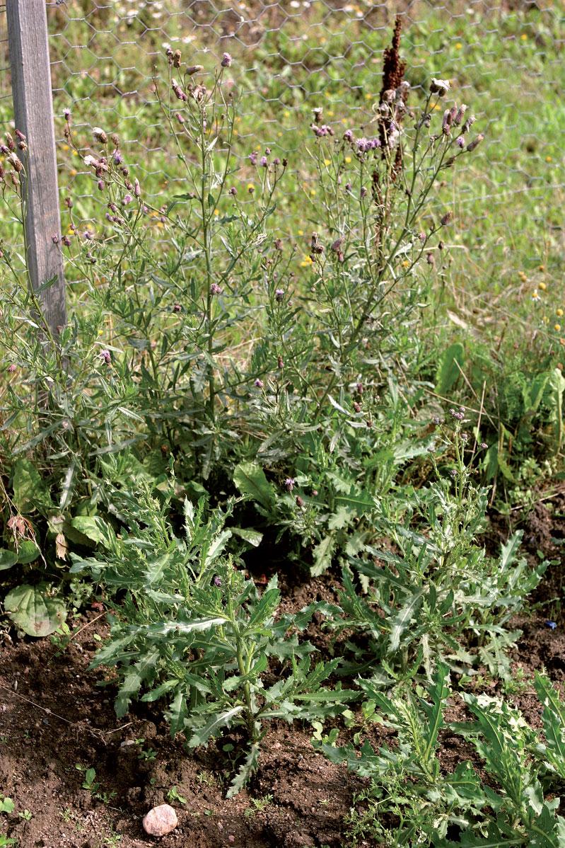 Pelto-ohdake muodostaa rotevan kasvuston, joka tukahduttaa muut kasvit.