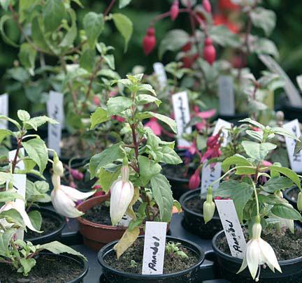 Säästäväinen puutarhuri kylvää nämä perennat siemenestä