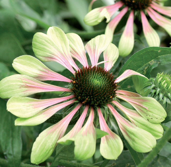 'Green Envy' Harvinaiset puna-vihreät terälehdet ja limenvihreä mykerön keskus saavat lajikkeen näyttämään kadehdittavan kauniilta.