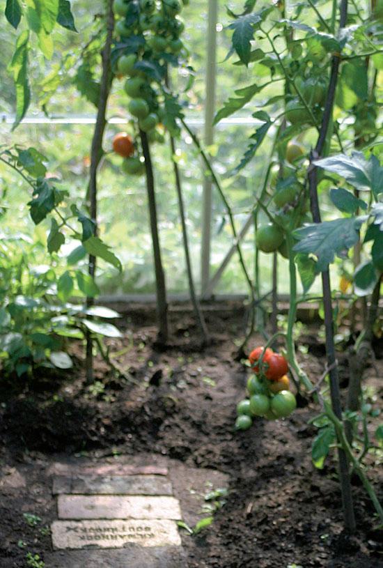 Hilkan lasihuoneeseen mahtuu yli 30 tainta, jotka kasvavat noin puolen metrin välein.