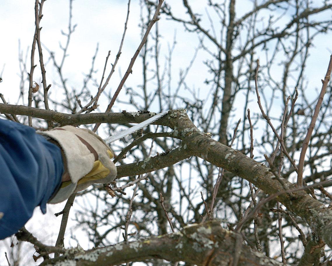 Omenapuun Leikkaaminen