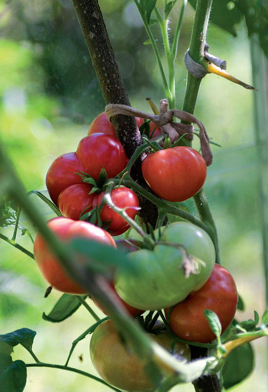 Hilkka Laajalan lempitomaatti on vaaleanpunainen, ohutkuorinen pihvitomaatti, jonka siemenet ovat peräisin Virosta.