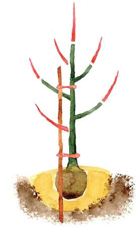 Tavallisen omenapuun istutusleikkaus