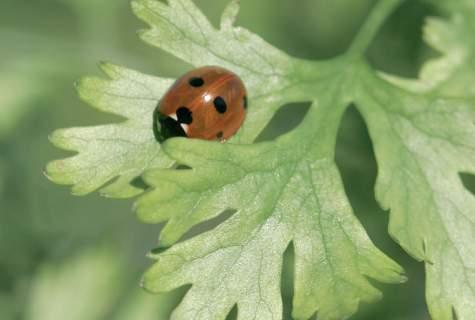 Ludemaiselta maistuva korianteri (Coriandrum sativum) on tullut suosituksi.