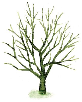 Leveän omenapuun leikkaus
