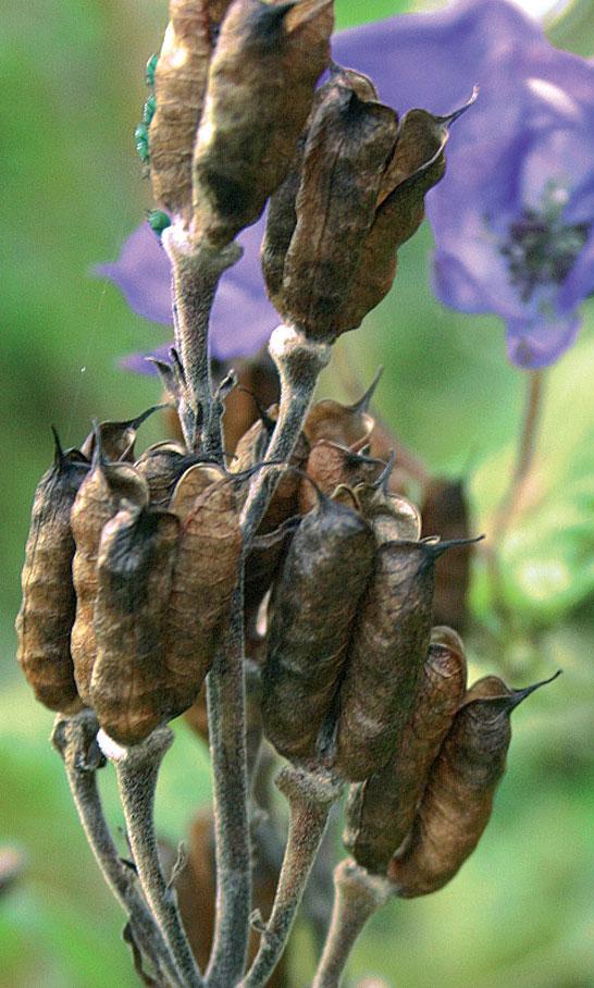 Kasvien siemenet – Ukonhattu