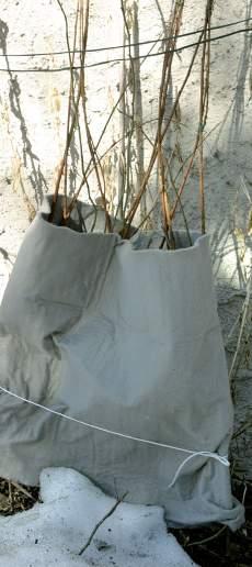 Pakkaspeite hidastaa hieman kasvuunlähtöä, mutta siitä on vain etua aurinkoisella seinustalla.