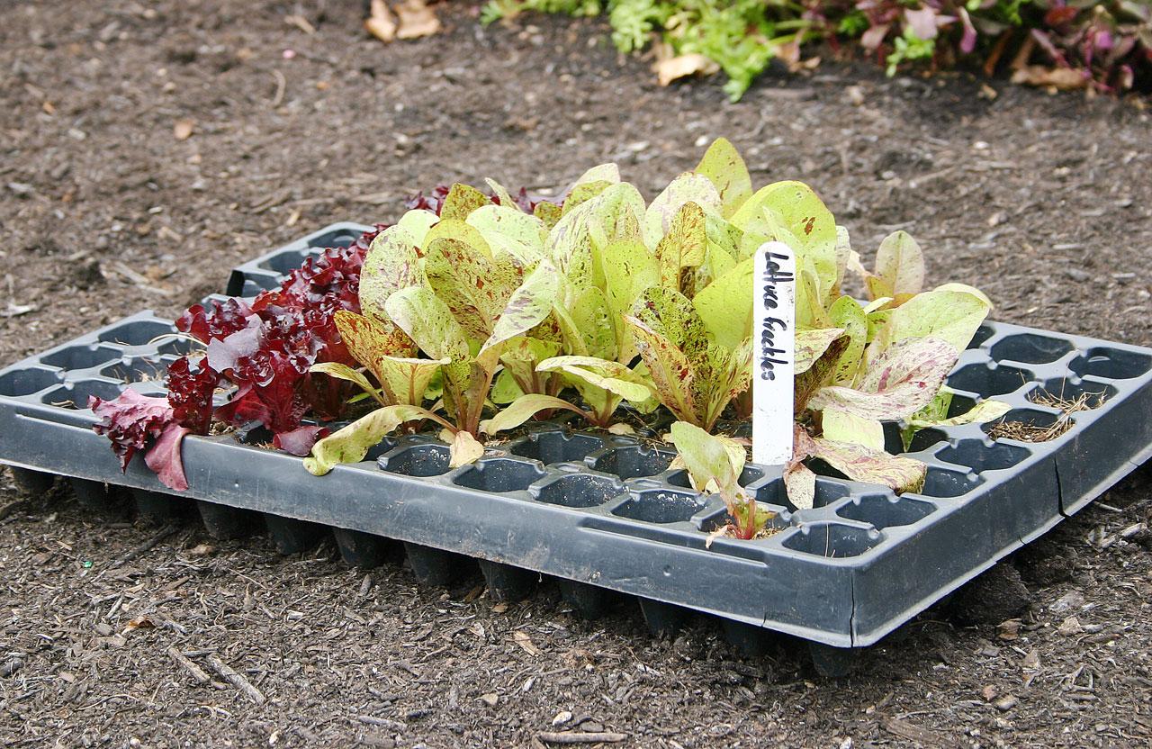 Taimet esikasvatuslaatikossa