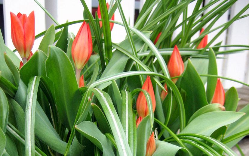 Terttutulppaani (Tulipa praestans) 'Fusilier'