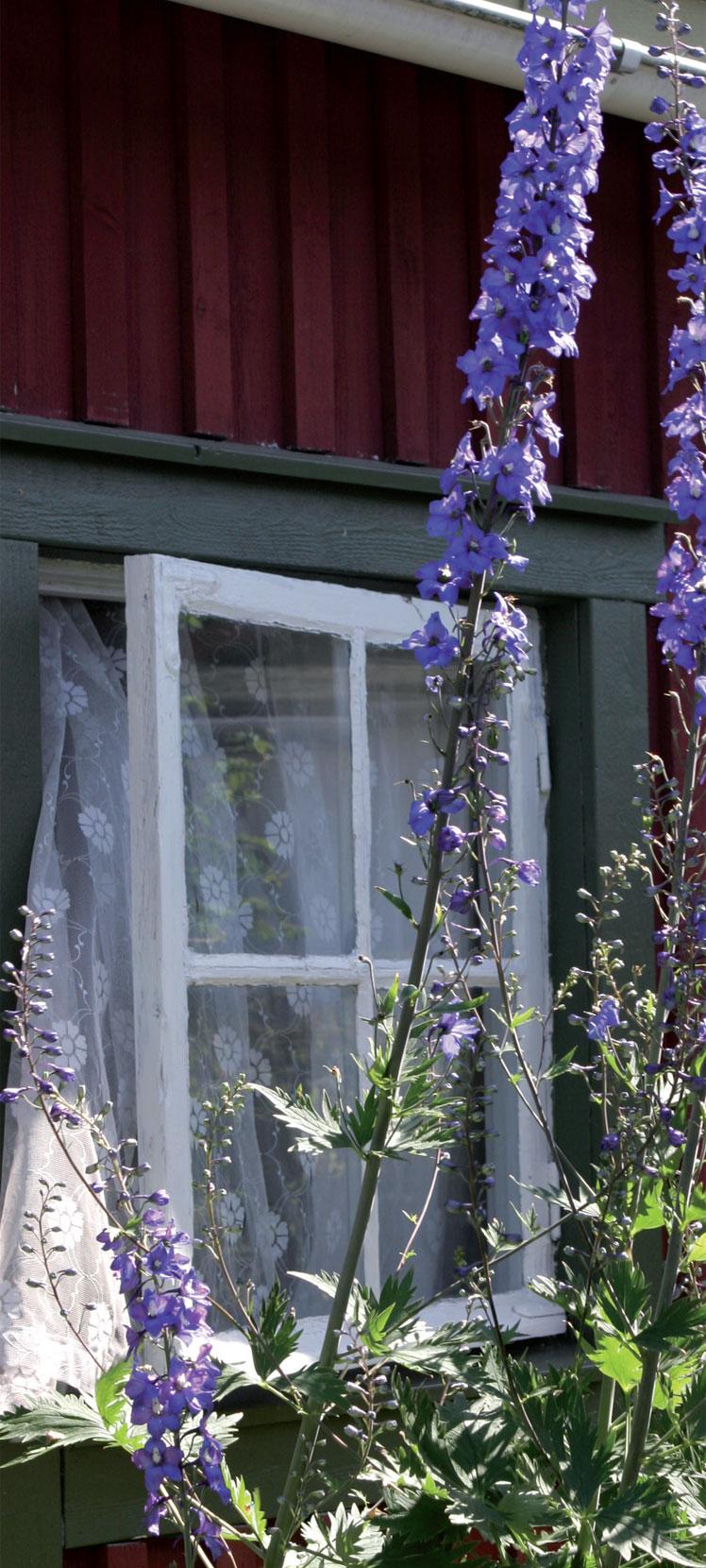 Yli 50-vuotiaan mökkivanhuksen ikkunan edessä kukkii joka kesä sininen ritarinkannus.