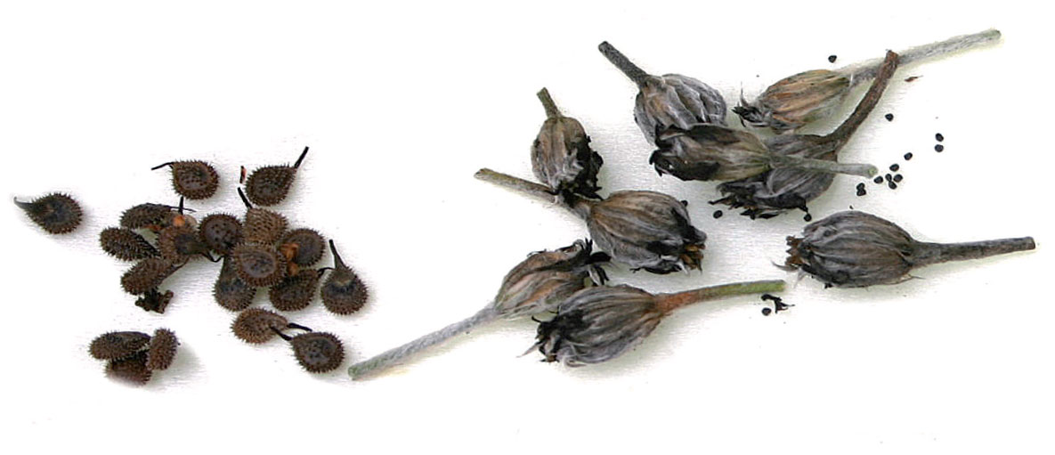 Vasemmalla neidonkielen (Echium), oikealla harmaakäenkukan (Lychnis coronaria) siemeniä.