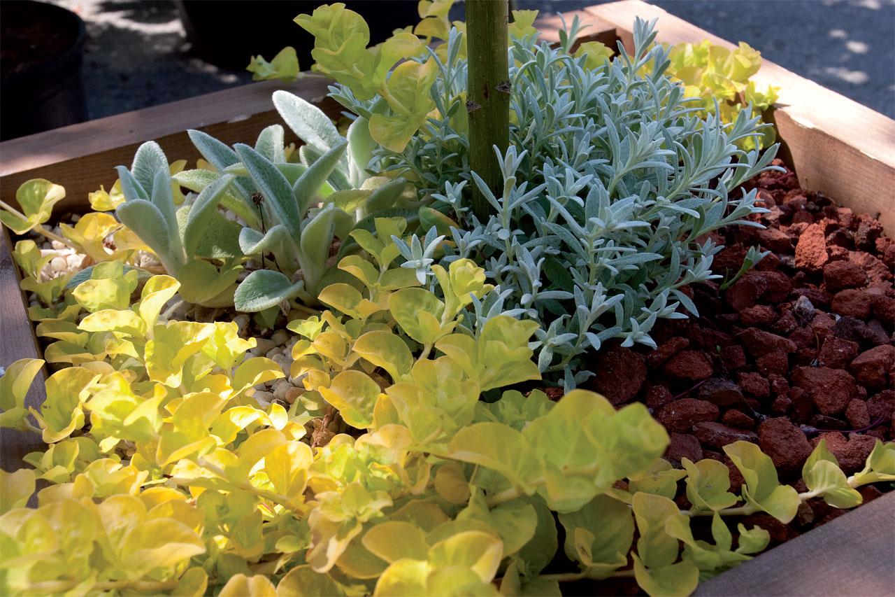 Kivikkotarhan kasvit menestyvät ruukussa vaikka korkeammalle kohoavan rungollisen pensaan tai pikkupuun juurella.