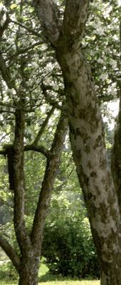 Vanhojen, monihaaraisten omenapuiden paksut oksat monesti repeävät puun ikääntyessä.