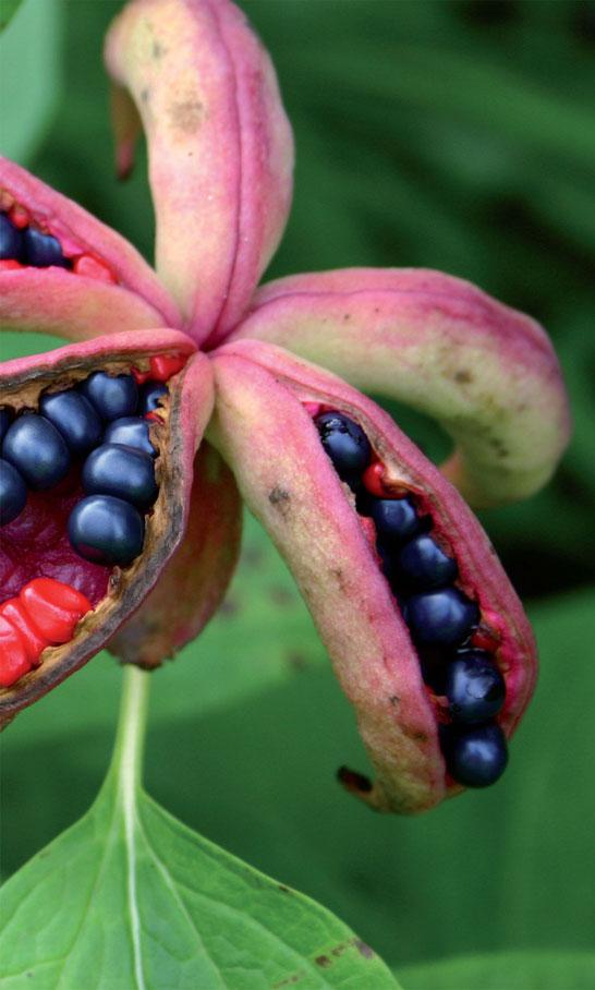 Kasvien siemenet – Pionierikoisuus