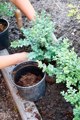 Puksipuun taimet istutetaan riviin