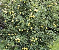 Omenapuun istutus - valkea kuulas