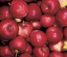 Omenapuun istutus - Heta