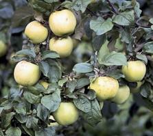 Omenapuun istutus - Antonovka