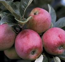 Omenapuun istutus - Åkerö