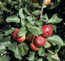 Omenapuun istutus - Pirja