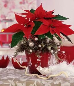 Joulutähti on niin sanottu lyhyen päivän kasvi. Se valmistautuu kukkimaan, kun vuorokauden valoisa aika on pituudeltaan selvästi alle 12 tuntia.