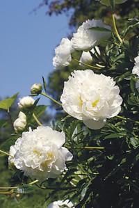 Paeonia lactiflora -kiinanpioni