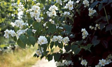 Tuoksuvat jasmikepensaat ovat heinäkuun tärkeimpiä kukkijoita
