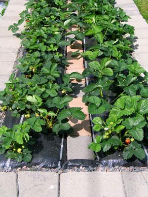 Mansikkapenkin nuoret taimet tuottivat satoa kesäkuun lopusta alkaen. Keskikivetys, joka on ladottu muovin päälle, helpottaa hoitoa ja sadonkorjuuta.