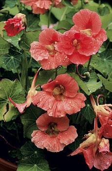Isoköynnöskrassin kukat ovat kauniita ja niitä on erivärisiä.