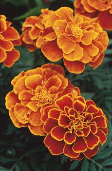 Samettikukat ovat helposti kasvatettavia yksivuotisia kasveja.