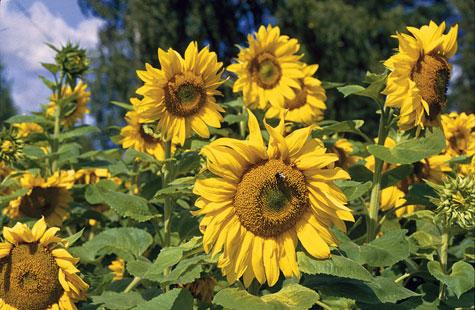 Auringonkukka-aita on ilo silmälle ja tarjoaa tehokkaan näkösuojan.