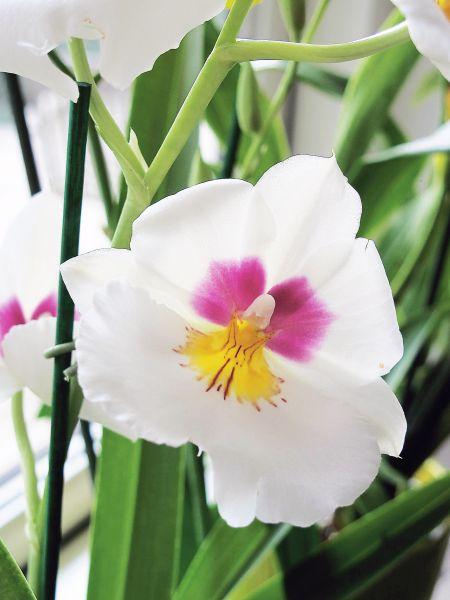 Orkidean Kastelu