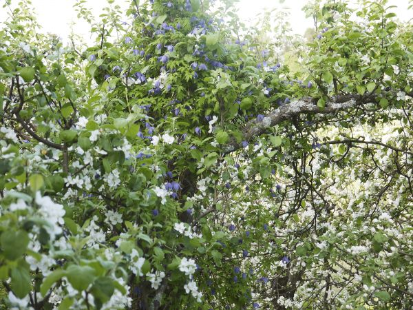 Omenapuu ja alppikärhö