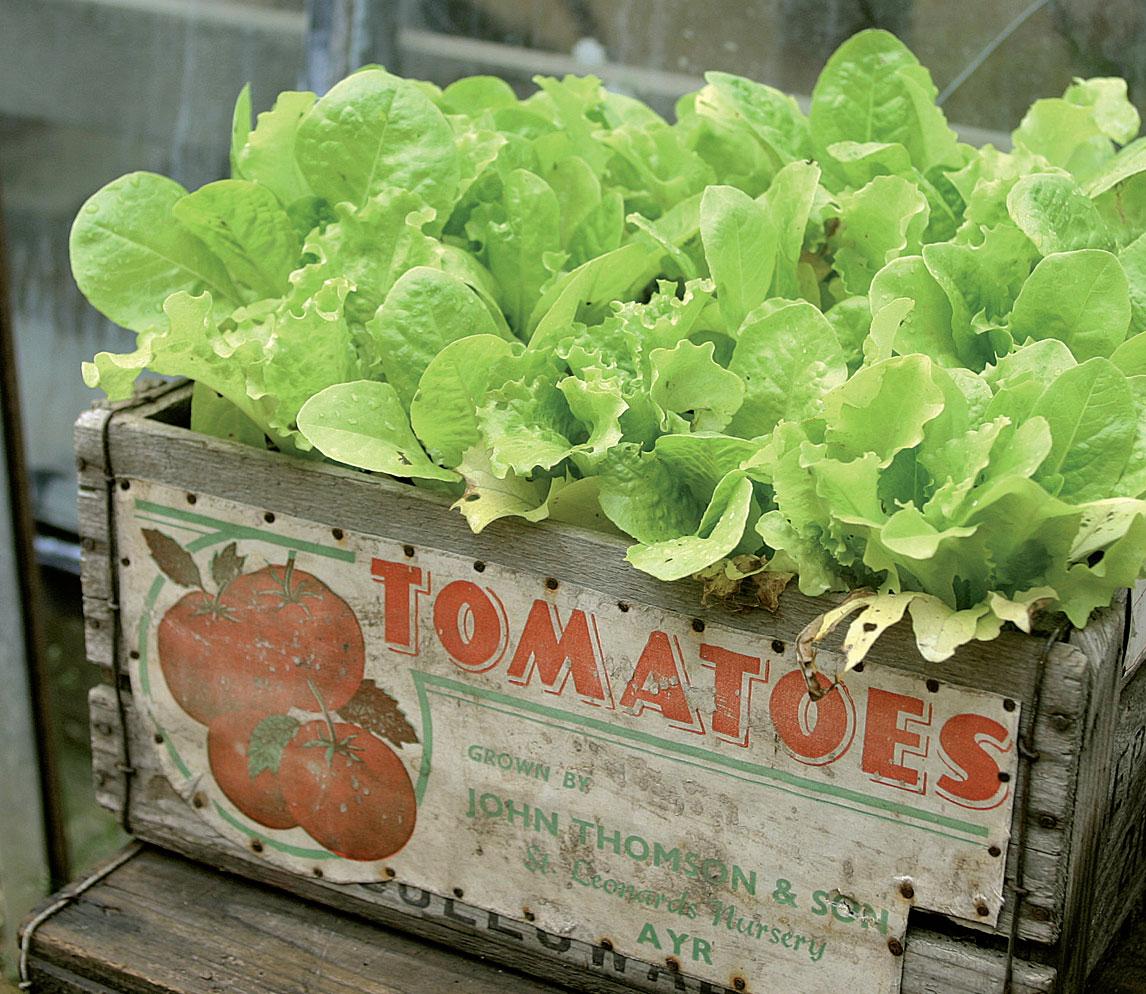 Kauniit laatikot sopivat hyvin vaikkapa salaatin, pinaatin ja yrttien kasvatukseen