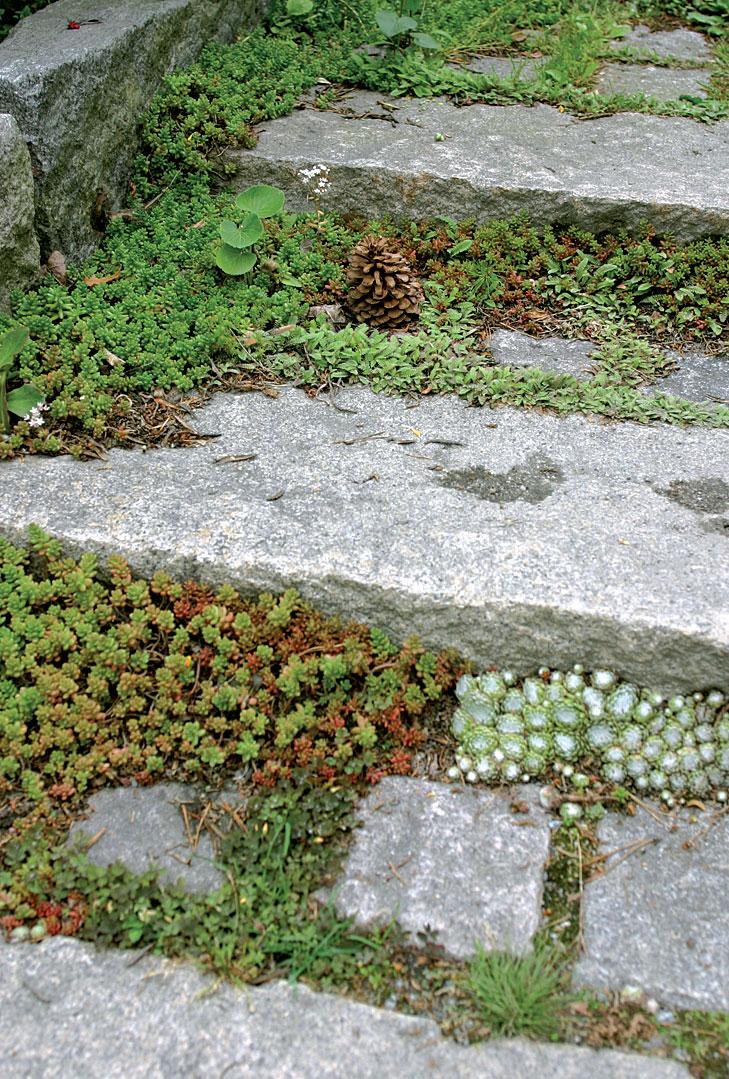 Vaalea seittimehitähti, kalliomaksaruoho ja rönsysaumayrtti estävät rikkaruohoja juurtumasta ja pehmentävät kiviportaiden saumoja.