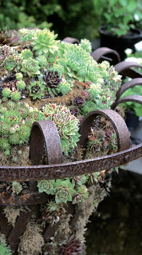 Kaiken kokoiset mehitähdet mielenkiintoisina yhdistelminä surffaavat nyt puutarhatrendien aallonharjalla