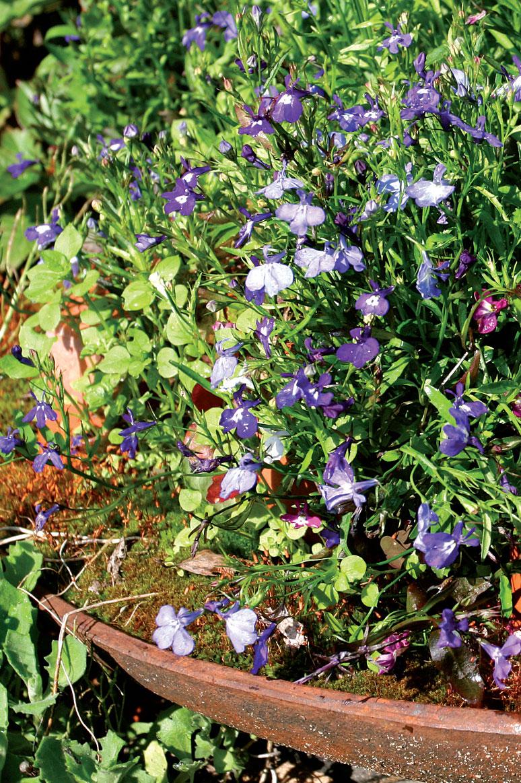 Muurinpohjapannu on kaunis, laakea istutusastia pienijuurisille kesäkukille, sammalelle tai mehikasveille