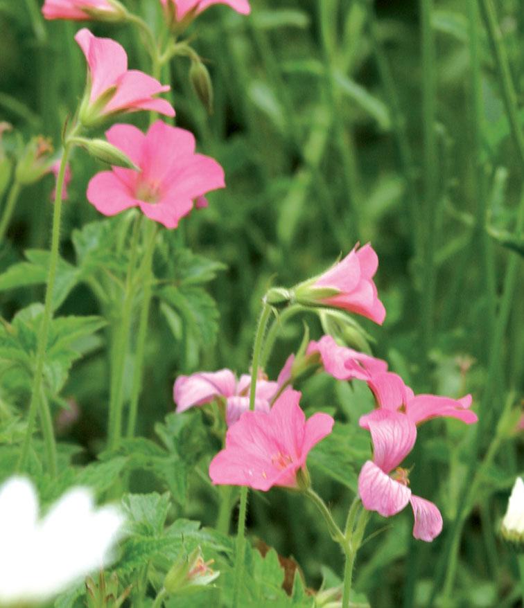 Espanjankurjenpolvi (Geranium endressii) kasvaa noin 40 sentin korkuiseksi.