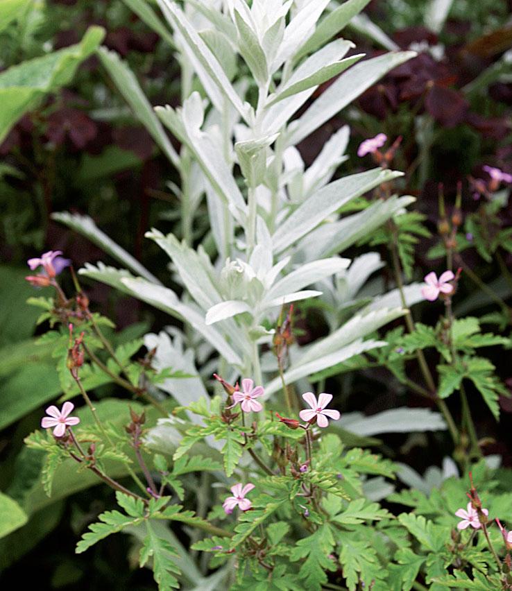 Haisukurjenpolvi (Geranium robertianum) hopeamarunan (Artemisia ludoviciana) edessä.