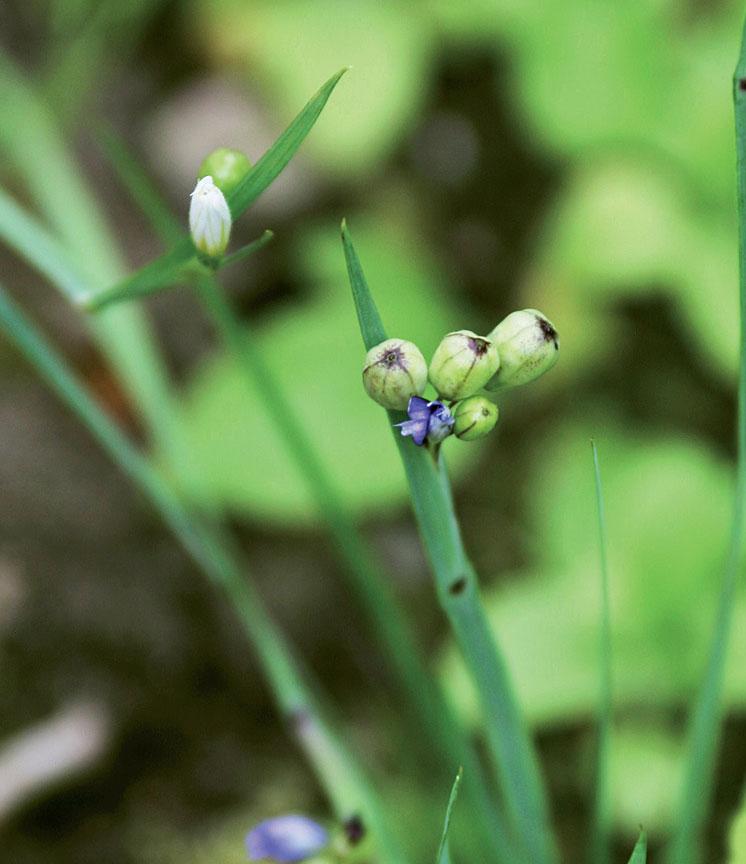 Noin 20 sentin korkuisen sinisilmiön (Sisyrinchium graminoides) kukka ja siemenkotia.