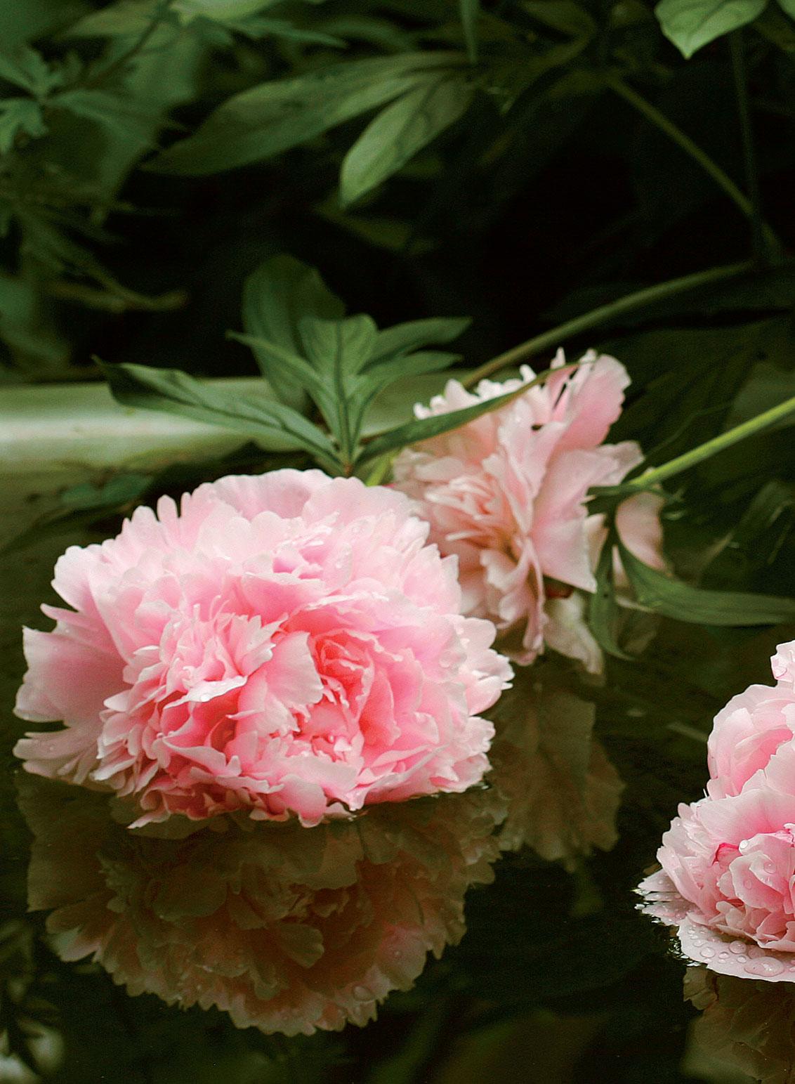 Pionien kukat kaartuvat kylpyammeen vedenpintaan.