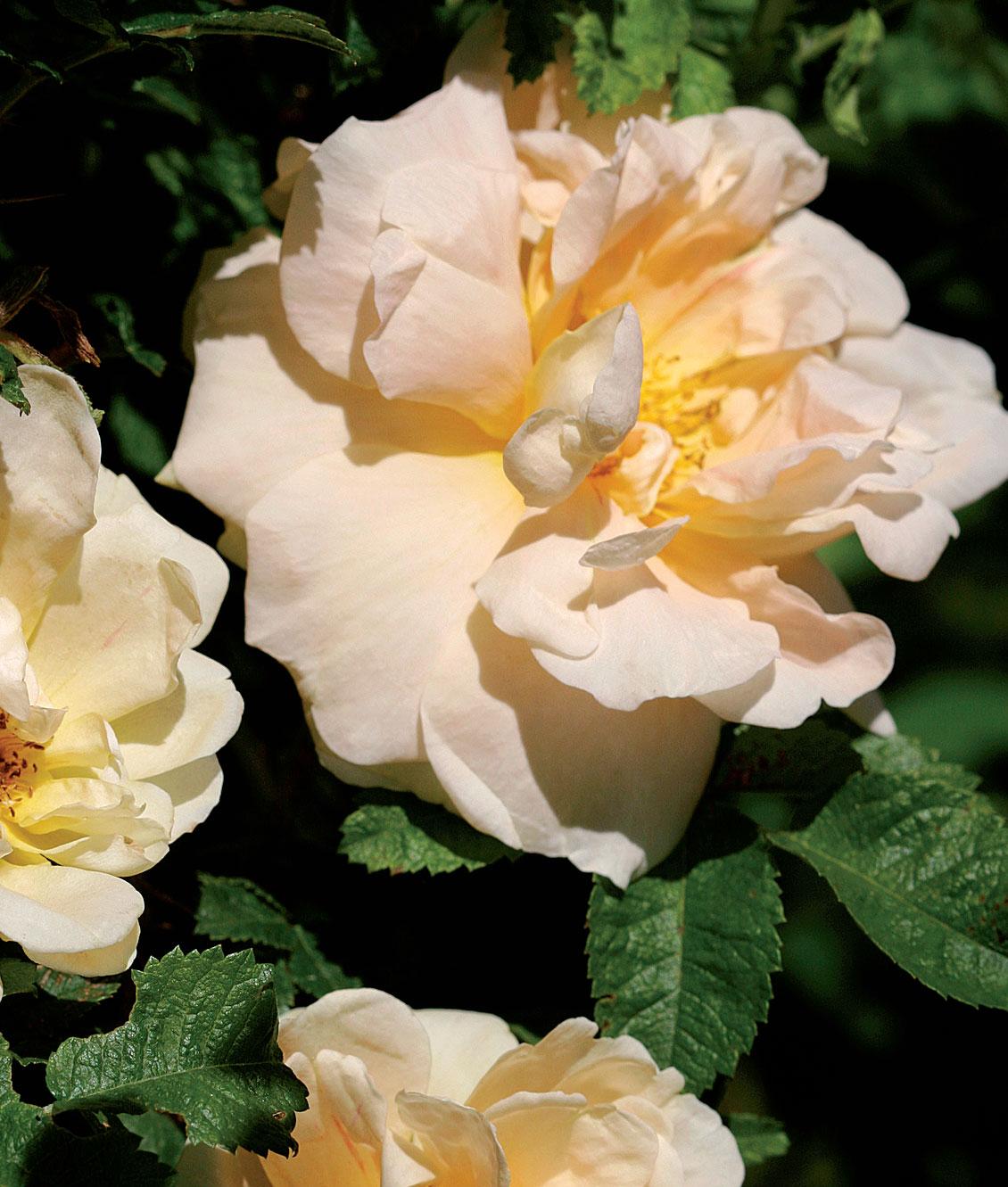 Tarhakurtturuusu 'Agnes' on kurttu- ja persiankeltaruusun risteymä