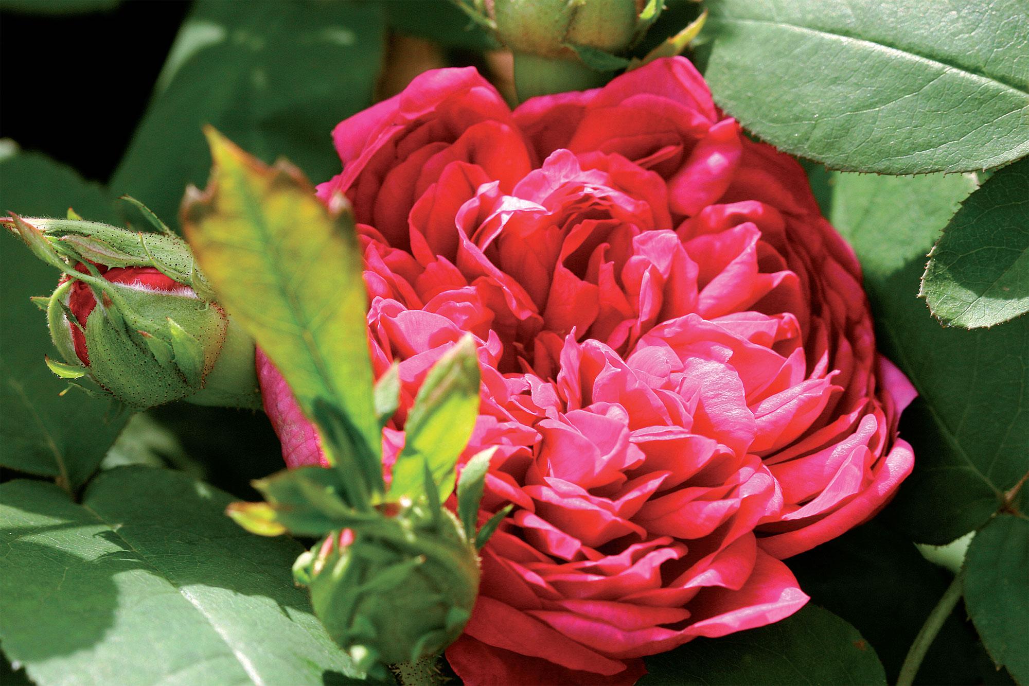 Bourbonruusu 'Great Western' kukkii kerran kesässä muhkeilla, maljamaisilla kukillaan.