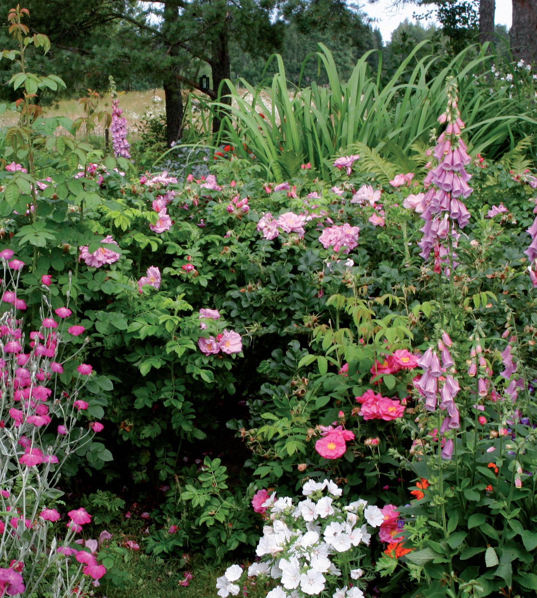 Sormustinkukkien takana kukkii Pavement-sarjaan kuuluva tarhakurtturuusu 'Rosa Zwerg'. Edessä apteekkarinruusu 'Officinalis'.