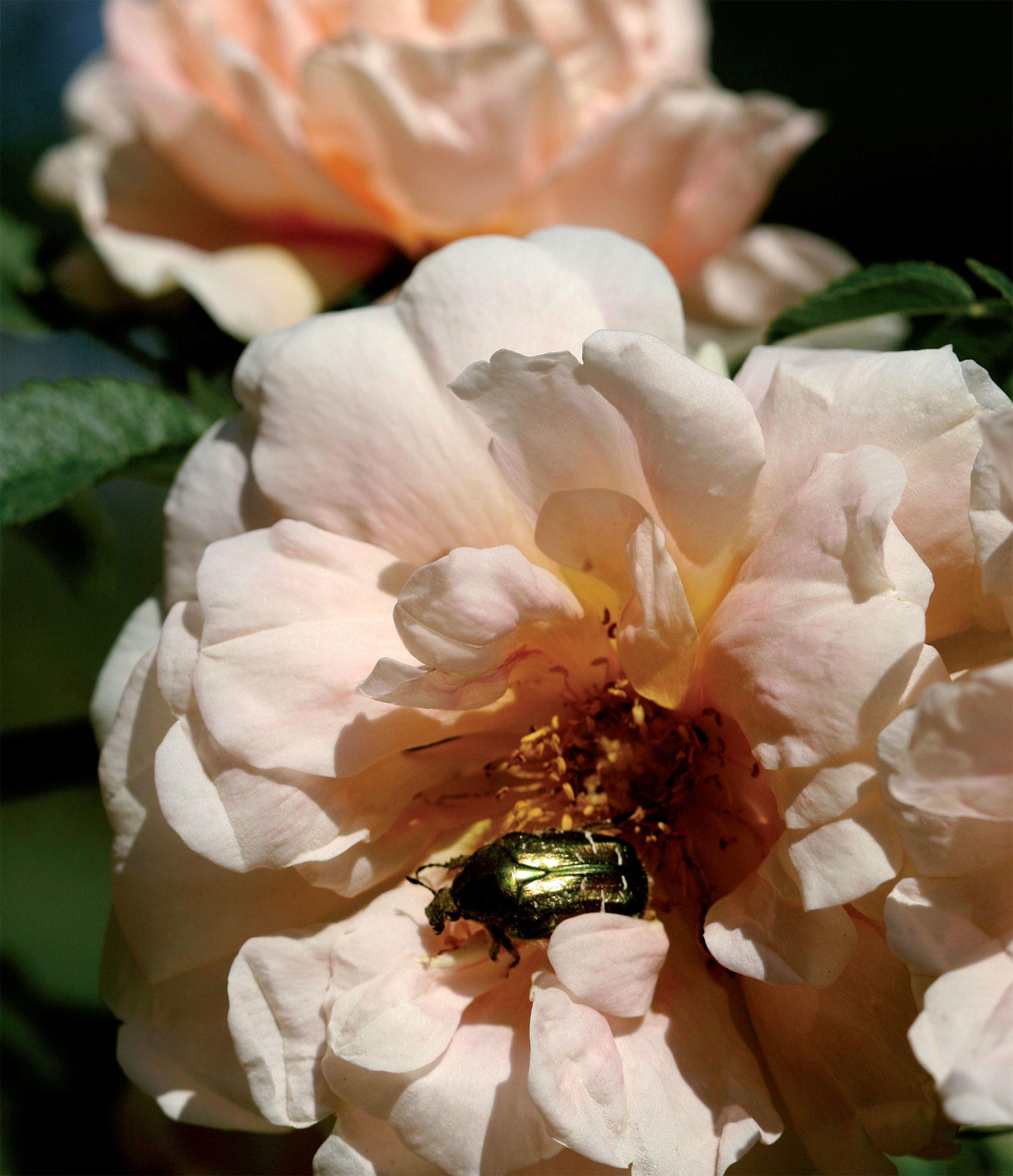 Aprikoosinkeltainen, voimakastuoksuinen tarhapimpinelliruusu 'Frühlingsduft'