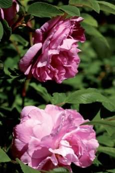 Kerrannaiskukkainen teresanruusu 'Thérèse Bugnet' on yksi kestävimmistä ja kauneimmista tarhakurtturuusuista.