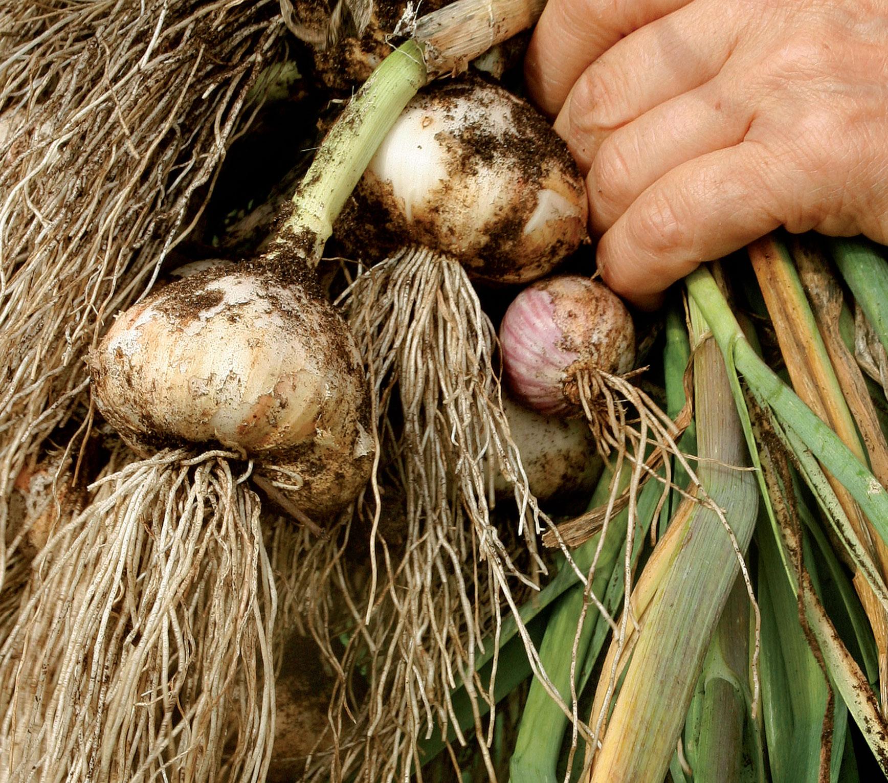 Kun kuivatus onnistuu, talvivalkosipulit säilyvät kevättalveen.