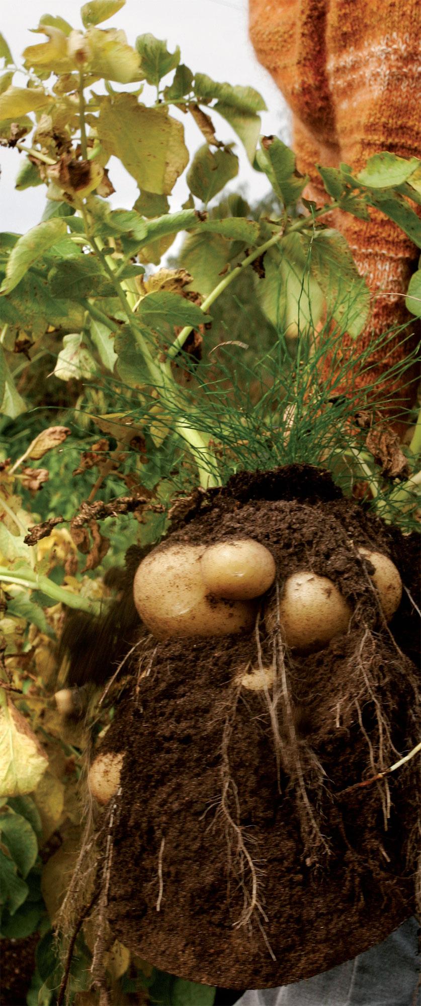 Turpeella parannetusta maasta juurekset nousevat puhtaina.