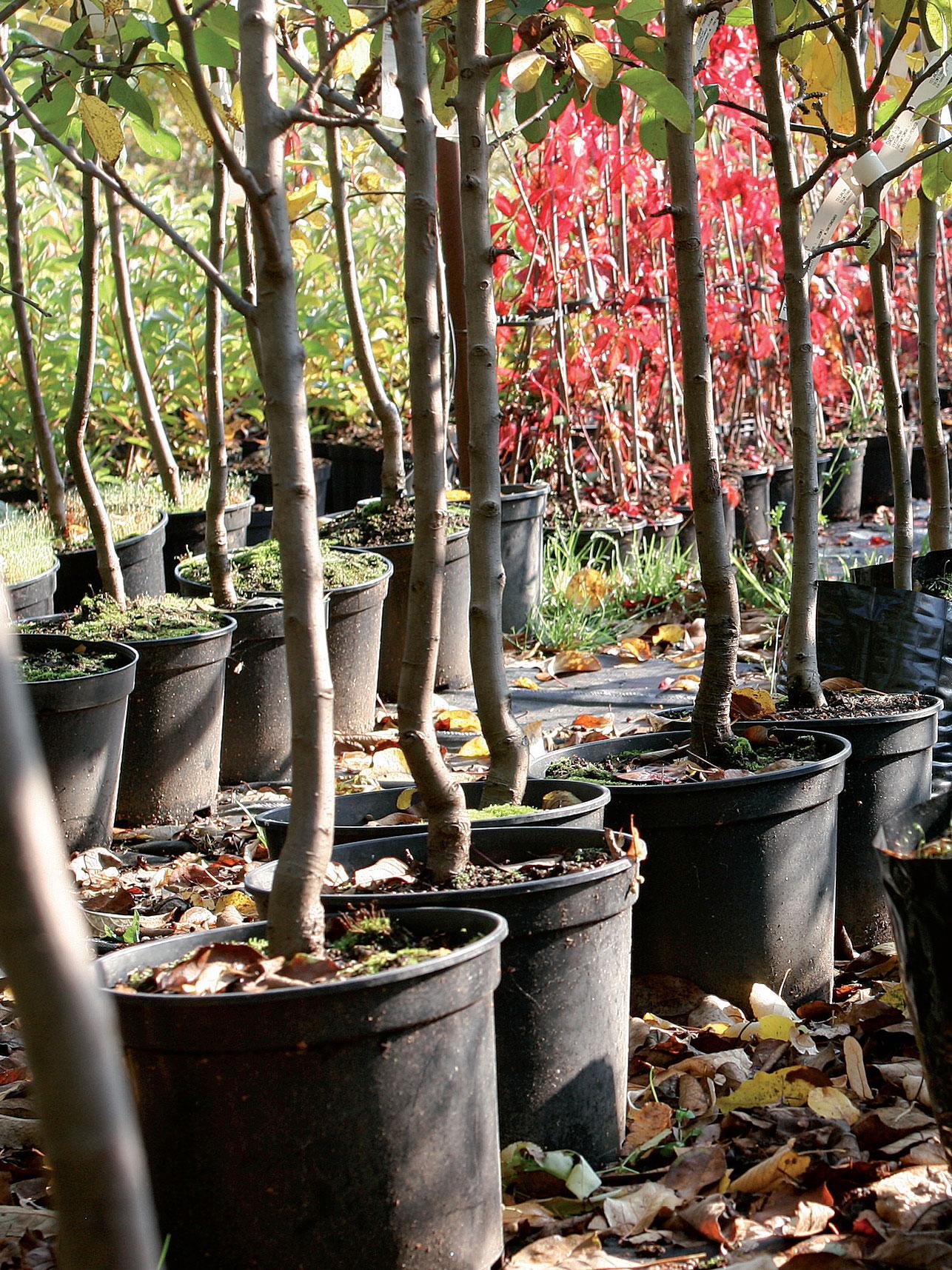 Astiatuotannossa on 15 prosenttia taimiston puista.